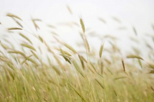 A field of wheat blows gently in a breeze.